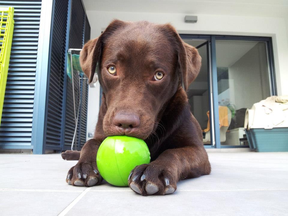 La perra Kyra jugando con una pelota